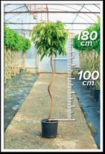 Ficus Amstel 100/180cm Spiral