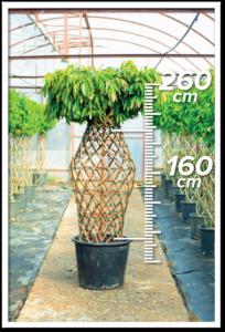 Ficus Amstel 160/260cm Vazo