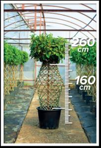 Ficus Avustralis 160/260cm Vazo