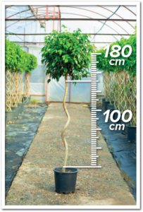 Ficus Benjamin 100/180cm Spiral