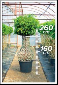 Ficus Benjamin 160/260cm Vazo