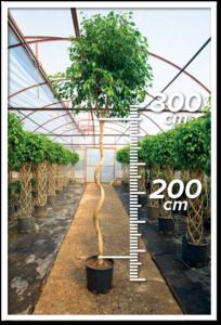 Ficus Benjamin 200/300cm Spiral