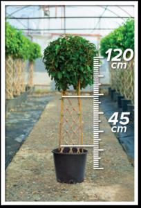 Ficus Benjamin 45/120cm Çit