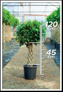 Ficus Benjamin 45/120 cm sütun