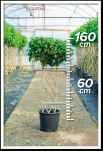 Ficus Benjamin 60/160cm Çit