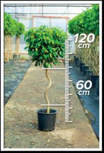 Ficus Benjamin 60/120cm Spiral