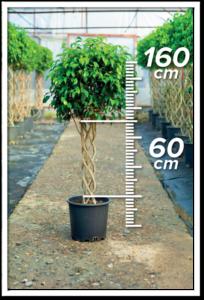 Ficus Benjamin 60/160 cm sütun