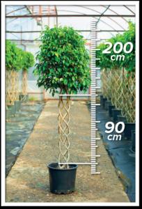 Ficus Benjamin 90/200 cm sütun