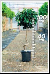 Ficus Daniel 40/100cm Spiral