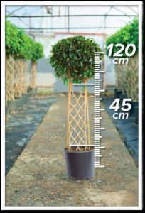 Ficus Daniel 45/120cm Çit