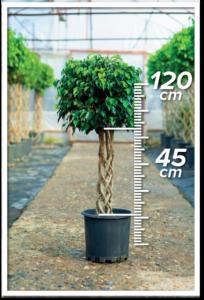 Ficus Daniel 45/120cm Sütun