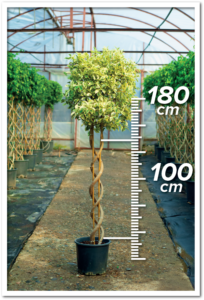 Ficus Hawai 100/180cm Double Spiral