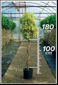 Ficus Hawai 100/180cm Spiral