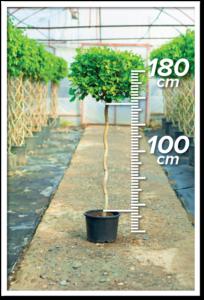 Ficus Macrocarpa 100/180cm S