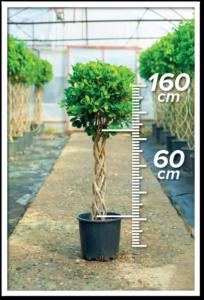 Ficus Macrocarpa 60/160cm Sütun