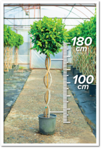 Ficus Nitida 100/180cm Double Spiral