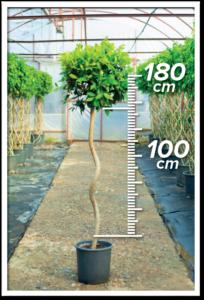 Ficus Nitida 100/180cm Spiral