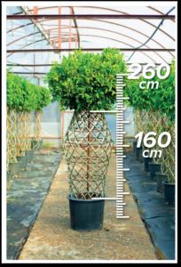Ficus Nitida 160/260cm Vazo