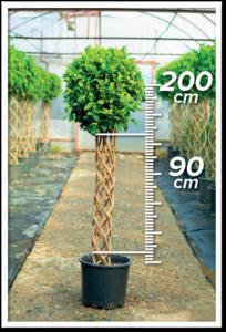 Ficus Nitida 90/200cm Sütun