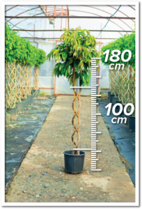 Ficus Amstel 100/180cm Double Spiral