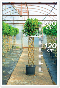 Ficus Avustralis 120/200cm Sütun