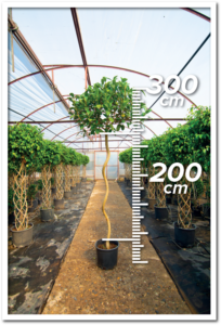 Ficus Avustralis 200/300cm Spiral