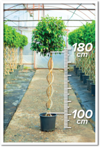 Ficus Benjamin 100/180cm Double Spiral