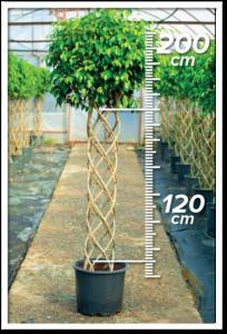 Ficus Benjamin 120/200cm Sütun