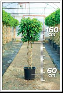Ficus Benjamin 60/160cm Double Spiral