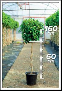 Ficus Benjamin 60/160cm S
