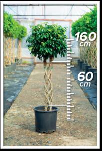 Ficus Daniel 60/160cm Sütun
