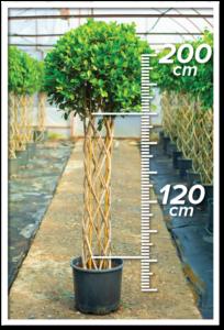 Ficus Macrocarpa 120/200cm Sütun