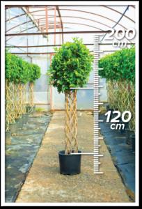 Ficus Nitida 120/200cm Sütun