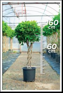 Ficus Nitida 60/160cm Sütun